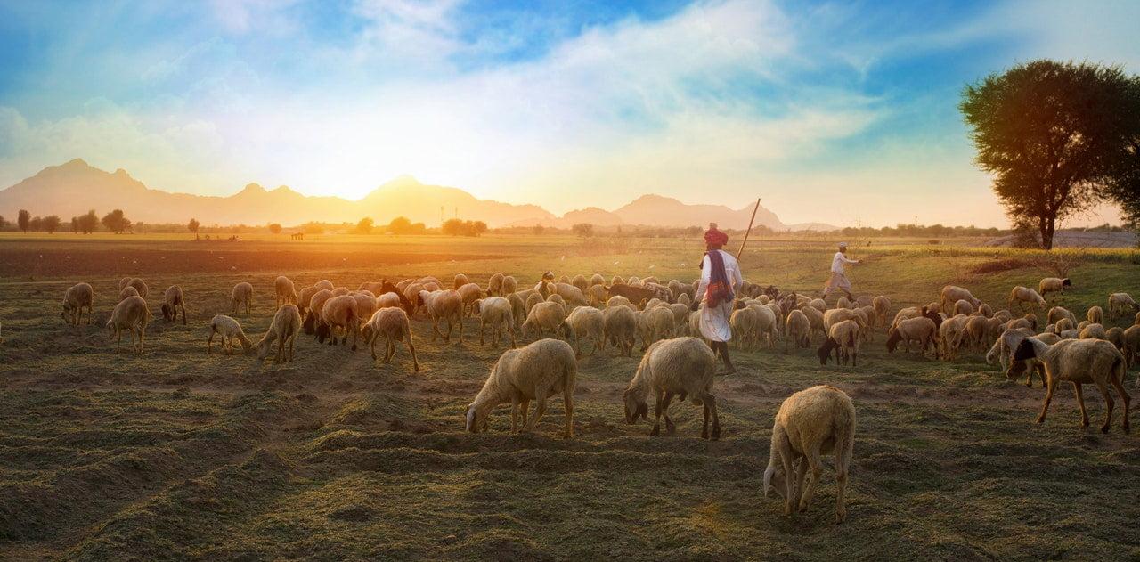 a herde of sheeps migrating